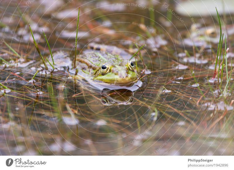 Frosch am Teich Pflanze Wasser Moor Sumpf See 1 Tier frisch klar seicht Auge Amphibie Tag Farbfoto Makroaufnahme Reflexion & Spiegelung Blick