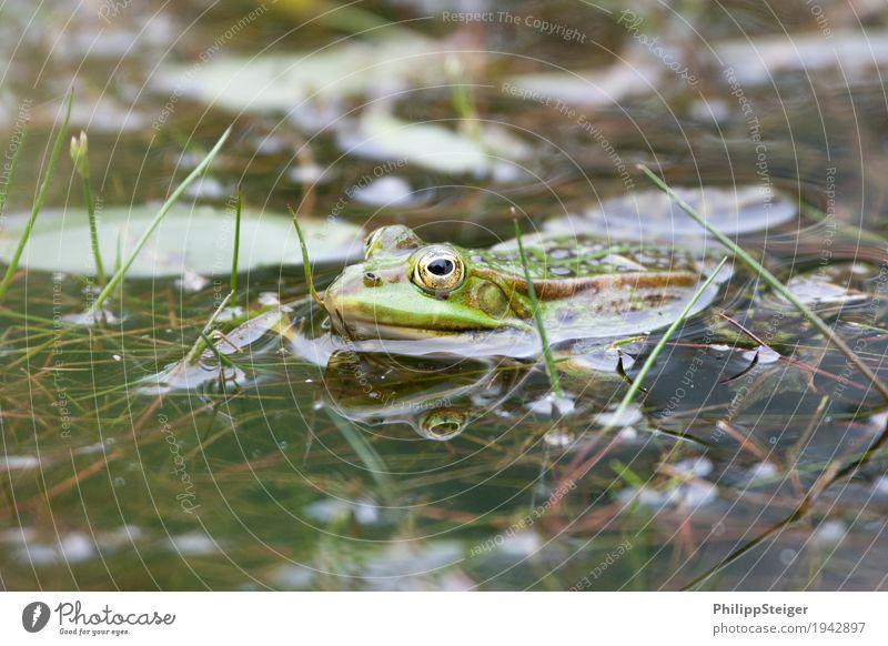 Frosch im Teich Pflanze Wasser See frisch Amphibie Auge Klarheit grün seicht Farbfoto Makroaufnahme Menschenleer Tag Reflexion & Spiegelung Froschperspektive