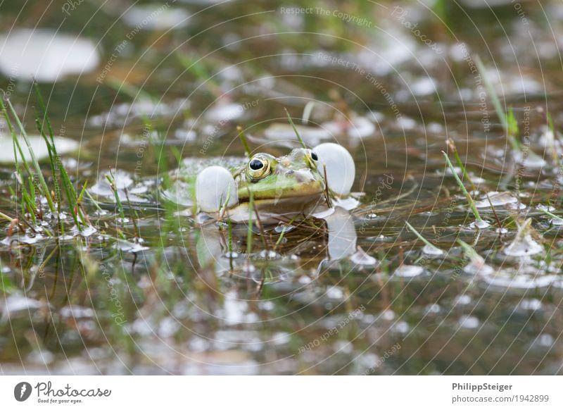Frosch macht dicke Backen Pflanze Wasser Teich See Brunft frisch Wange Klarheit Schallblasen Amphibie Blase Auge Fortpflanzung Farbfoto Makroaufnahme