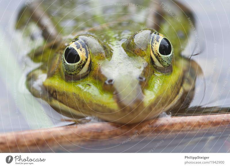 Große Augen machen Pflanze Wasser Teich See Frosch frisch Amphibie Tag deutlich seicht Farbfoto Makroaufnahme Menschenleer Reflexion & Spiegelung