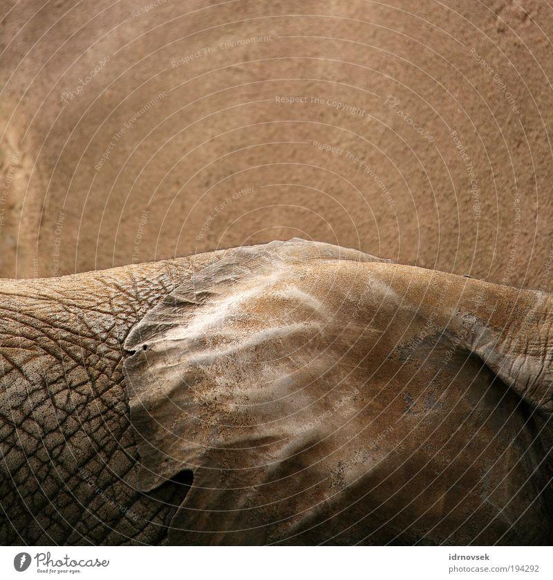 Elefanten still leben Zoo Tier Wildtier 1 groß nah natürlich trocken braun grau Stimmung Verschwiegenheit Gelassenheit ruhig Weisheit emotionslos ästhetisch