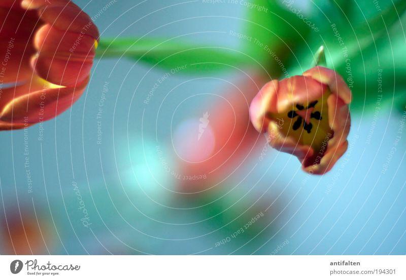 Tulpen inside III Natur Blume grün blau Pflanze rot Freude Blatt Blüte Glück orange Glas frisch Fröhlichkeit ästhetisch Dekoration & Verzierung