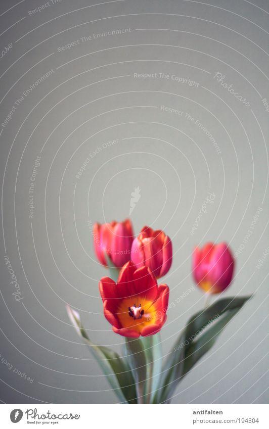 Tulpen inside IV Natur Blume grün Pflanze rot Blatt gelb Ferne Leben Blüte Frühling grau Fröhlichkeit ästhetisch authentisch Dekoration & Verzierung