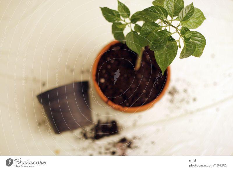 wachstumsbeschleunigung Umwelt Natur Pflanze Erde Frühling Blatt Grünpflanze Chili Wachstum Frühlingsgefühle aufstrebend umtopfen Blumentopf Neuanfang