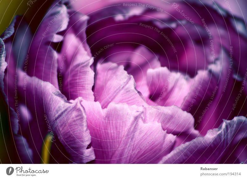 Fiore Viola Natur blau Pflanze Blume Blatt ruhig Gefühle Blüte Stimmung hell Kunst elegant glänzend natürlich wild Design