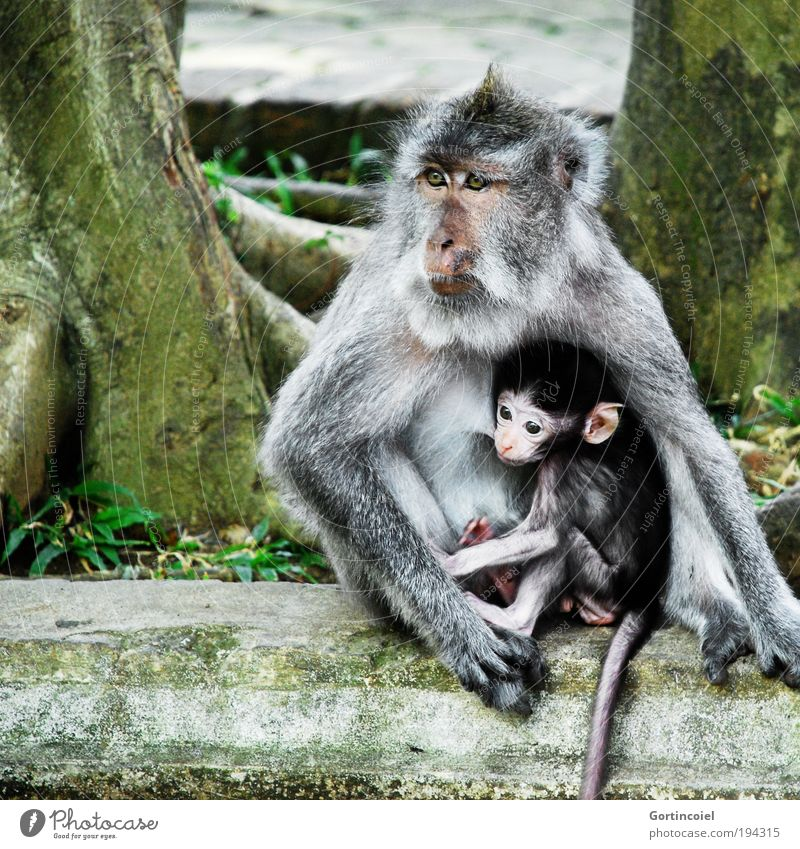 Bali Monkeys Umwelt Natur Tier Baum Urwald Asien Wildtier Tiergesicht Fell Affen Makake Äffchen Tierjunges klein Mutterliebe stillen Indonesien Schutz