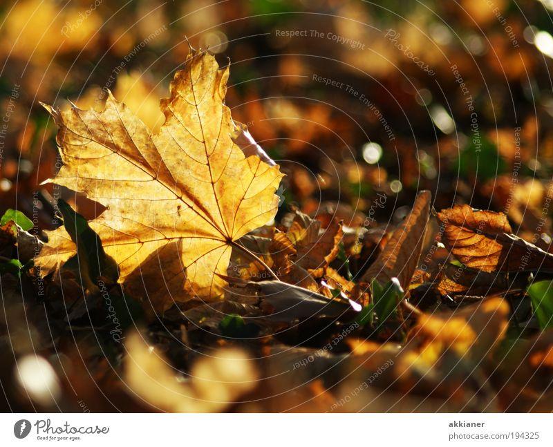 Schönheit Herbst Umwelt Natur Landschaft Pflanze Urelemente Erde Luft Sonne Klima Klimawandel Wetter Schönes Wetter Baum Blatt Park hell nah schön trocken Wärme