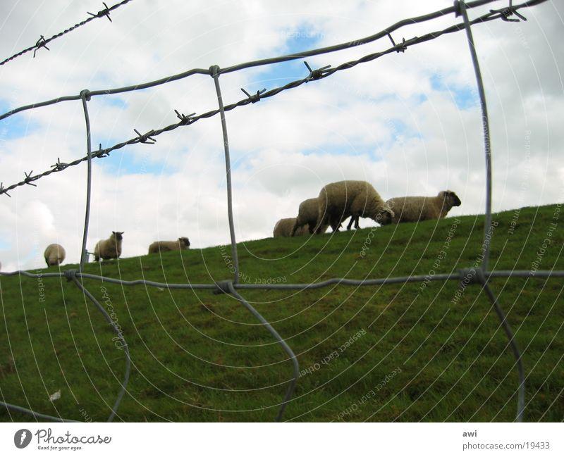 Schafe grün Gras Zaun Deich