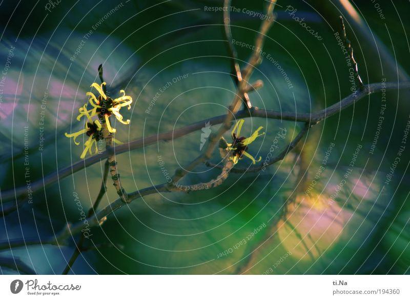 wünsch Dir was Natur Pflanze Landschaft Tier Winter Umwelt gelb Blüte Sträucher Blühend Zaubernuss Zaubernussblüte