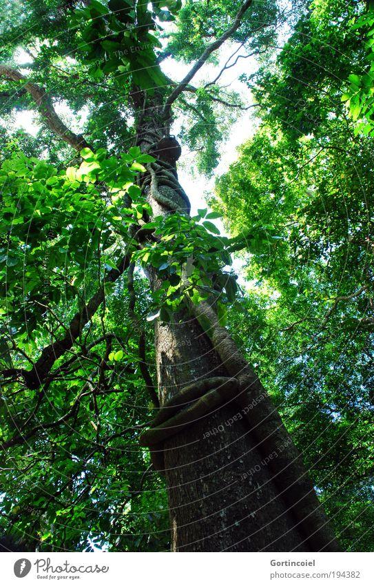 Bali Rainforest Umwelt Natur Pflanze Frühling Sommer Baum Blatt exotisch Baumkrone Liane Mangrove Blätterdach Wald Urwald Asien grün Baumstamm Baumrinde Ast