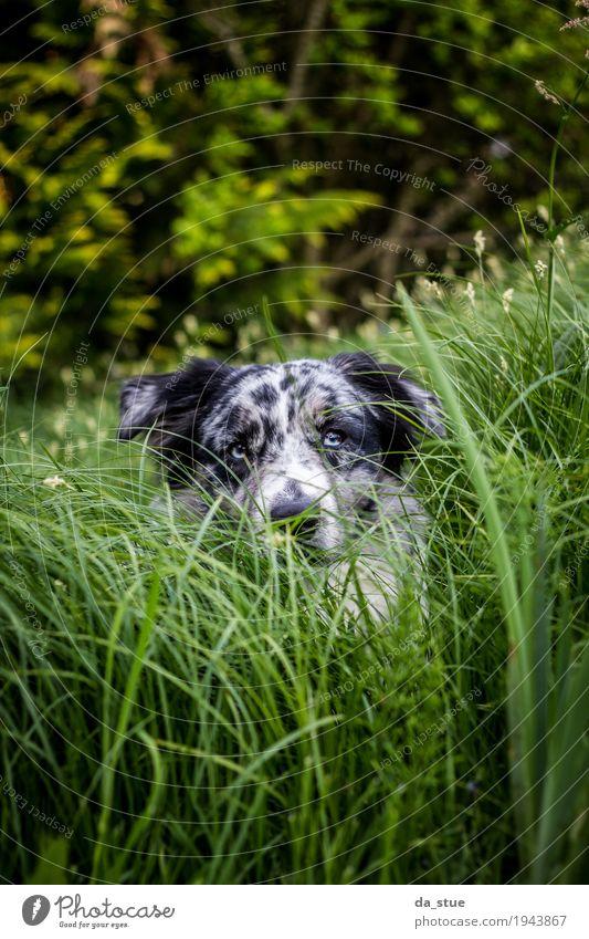 Australian Shepherd Natur Pflanze Tier Baum Gras Sträucher Grünpflanze Wildpflanze Garten Wiese Wald Haustier Hund Tiergesicht Fell 1 beobachten Jagd liegen
