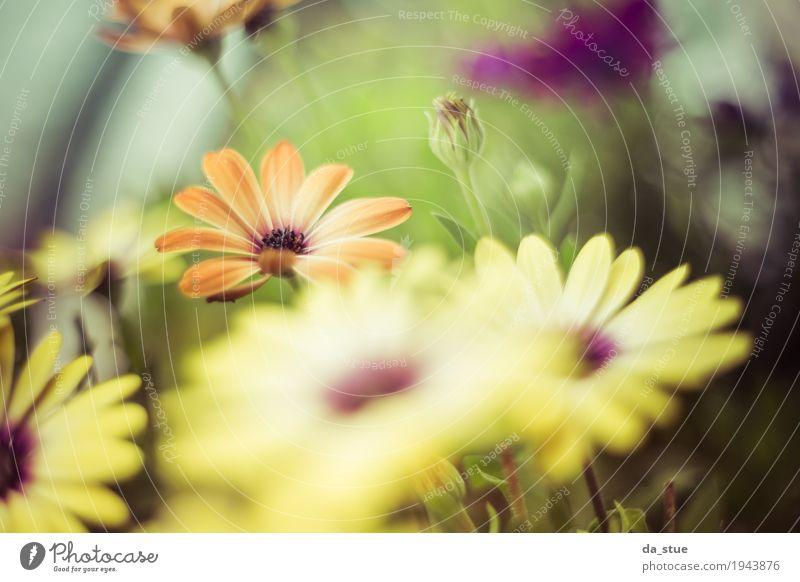 Gerbera Natur Pflanze Tier Frühling Sommer Blume Blüte Topfpflanze Garten elegant Freundlichkeit frisch Gesundheit schön Kitsch natürlich saftig gelb grün