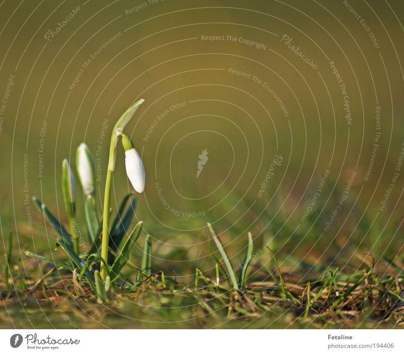 Schneeglöckchen Natur schön weiß Blume grün Pflanze Blatt Wiese Blüte Gras Frühling Park Wärme Landschaft hell Wetter