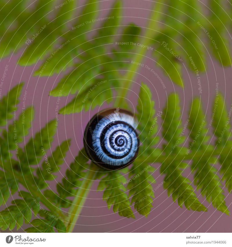 Schnecke und Farn Natur Pflanze Wald ästhetisch positiv rund grün violett Design Kunst ruhig Symmetrie Strukturen & Formen Spirale Schneckenhaus Blatt Kontrast