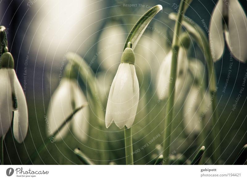 wenn die frühlingsglocken leise bimmeln... Natur Pflanze grün weiß Blume Landschaft Winter Umwelt Wiese Gras Frühling Wachstum Fröhlichkeit Lebensfreude Schönes Wetter Wandel & Veränderung