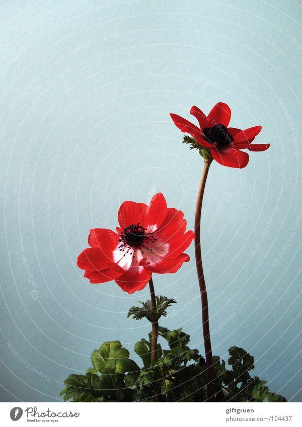 spring is just around the corner! Umwelt Natur Pflanze Blume Blatt Blüte Anemonen Park Wiese Blühend Wachstum ästhetisch Freundlichkeit Fröhlichkeit frisch