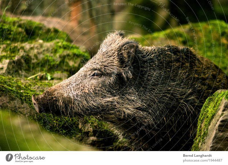 Wildschwein grün Tier grau braun Wildtier Fell Tiergesicht