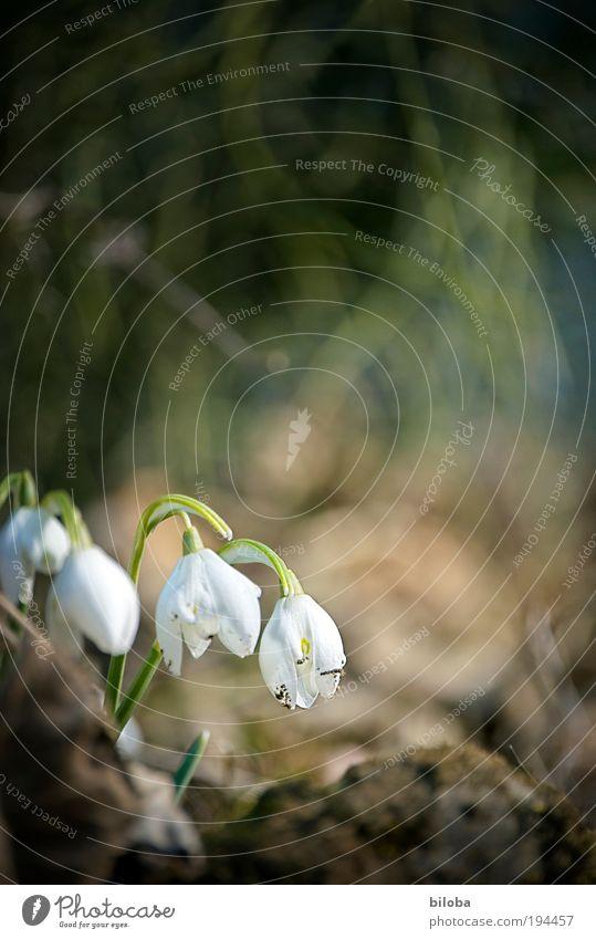 Frühlingserwachen Natur grün weiß Pflanze Blume Umwelt Blüte hell braun 4 Schneeglöckchen Frühlingsblume