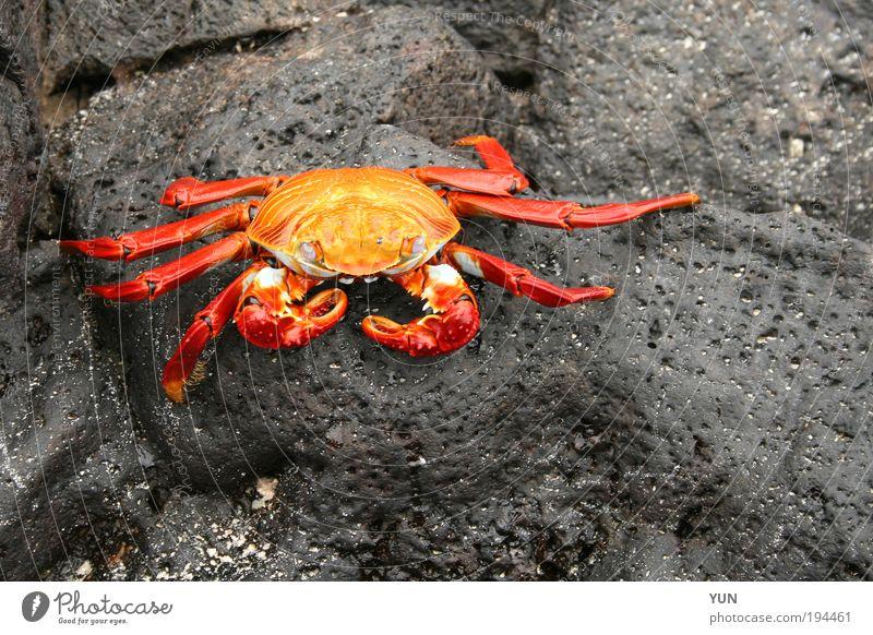 Rote Klippenkrabbe Natur schön Meer rot Strand Ferien & Urlaub & Reisen schwarz Tier gelb Stein Felsen sitzen ästhetisch authentisch liegen natürlich