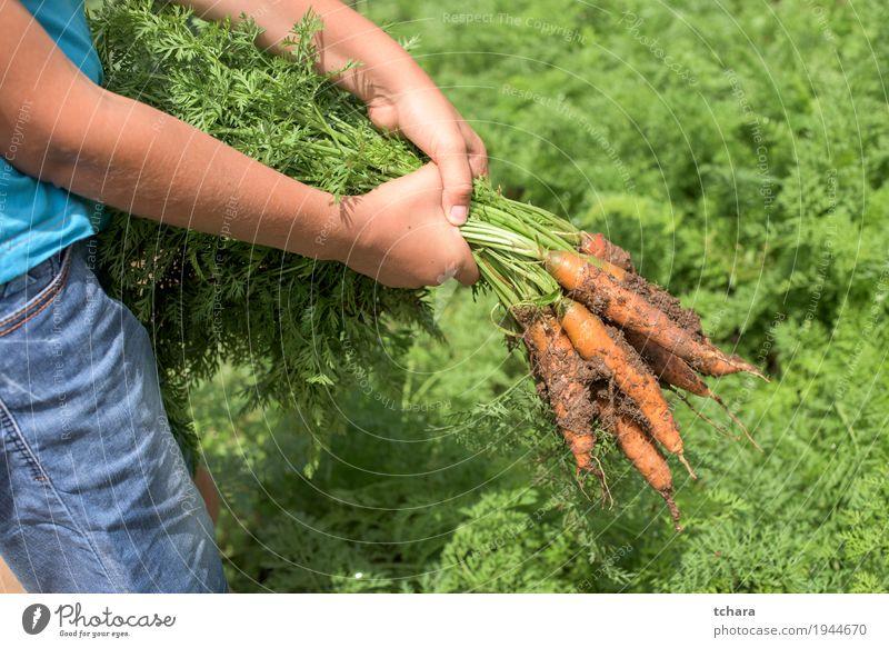 Karotten in einem Gemüsegarten Natur Pflanze grün Blatt natürlich Garten dreckig Wachstum frisch Boden Bauernhof Ernte Vegetarische Ernährung Gartenarbeit Halt