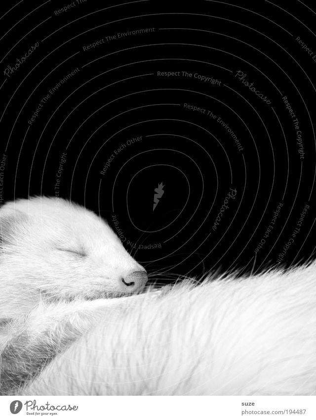 Schwarzweiß-Foto schön Tier schwarz träumen Wildtier liegen schlafen niedlich weich Fell Umweltschutz Haustier kuschlig Treue geschlossene Augen