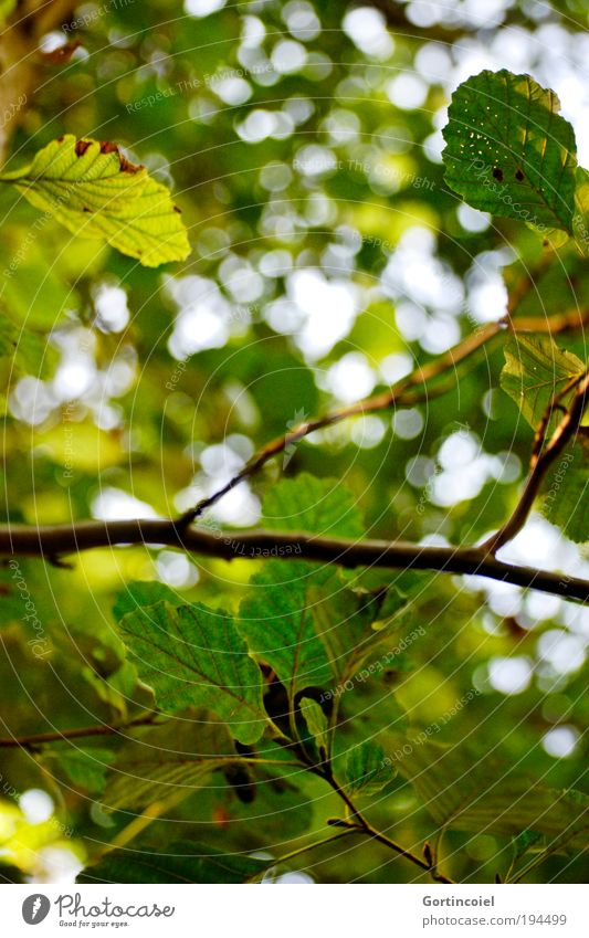 Grün Umwelt Natur Frühling Sommer Pflanze Baum Blatt Haselnuss Haselnussblatt Park grün Lichtfleck Blendenfleck herbstlich Umweltschutz Klimaschutz Spaziergang
