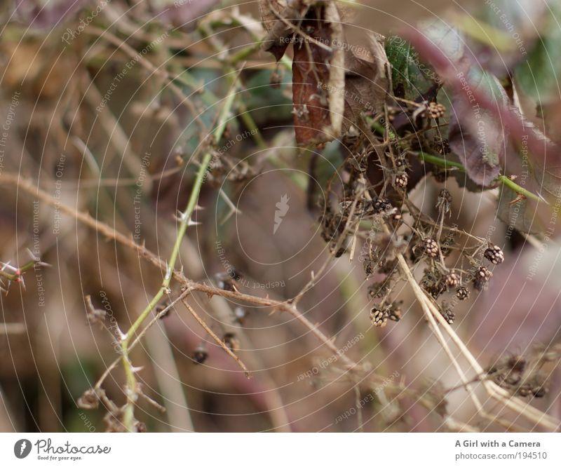 auch vergessen......schade! Natur alt Pflanze Tier Umwelt Tod Leben Herbst Wege & Pfade braun Frucht warten Sträucher trist violett trocken