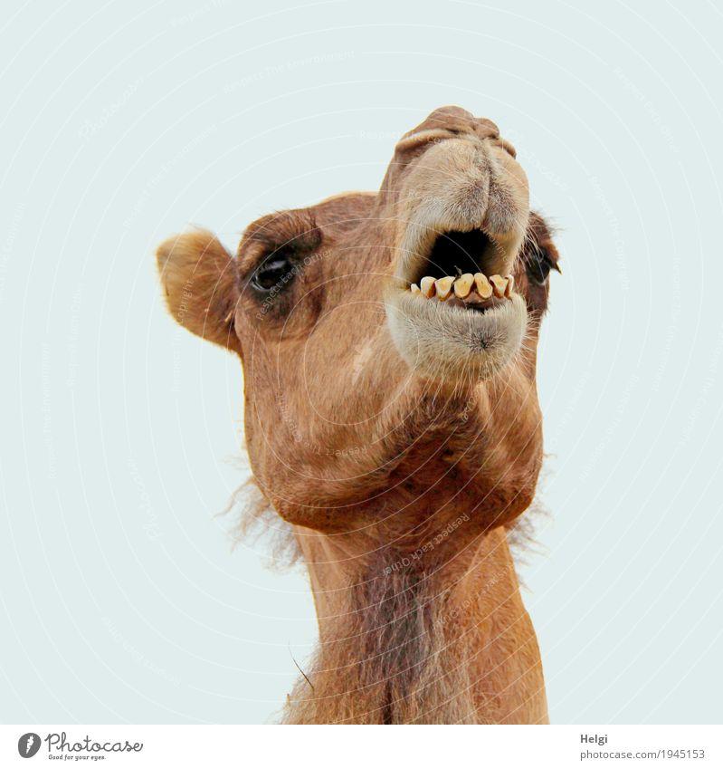 Hey ... Tier Tiergesicht Fell Zoo Kamel 1 beobachten Blick stehen authentisch einzigartig Neugier braun grau Zufriedenheit Leben Farbfoto Gedeckte Farben