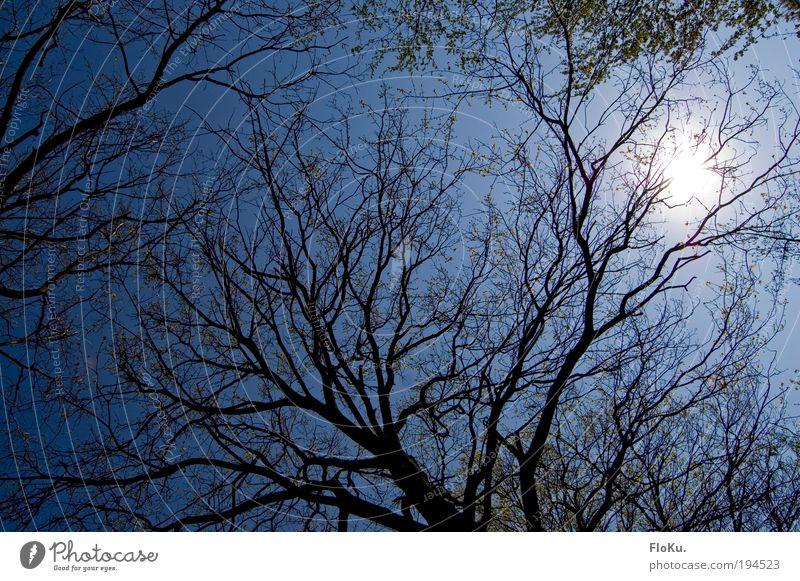 durch die krone Umwelt Natur Pflanze Luft Himmel Wolkenloser Himmel Sonne Sonnenlicht Schönes Wetter Baum Blatt blau Baumkrone grell Blauer Himmel