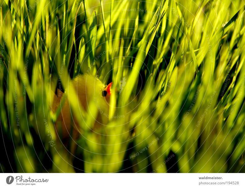 Küken Ostern Gras Tierjunges Frühlingsgefühle grün verstecken Dekoration & Verzierung gelb Farbfoto Unschärfe Schwache Tiefenschärfe