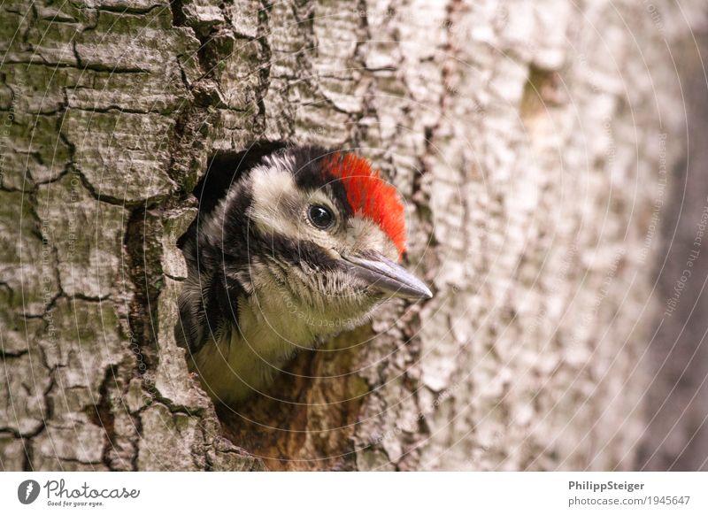 Kleiner Buntspecht guckt aus seiner Baumhöhle Natur Wald füttern Kommunizieren Gesundheit nachhaltig natürlich Neugier niedlich Appetit & Hunger Tier Schnabel