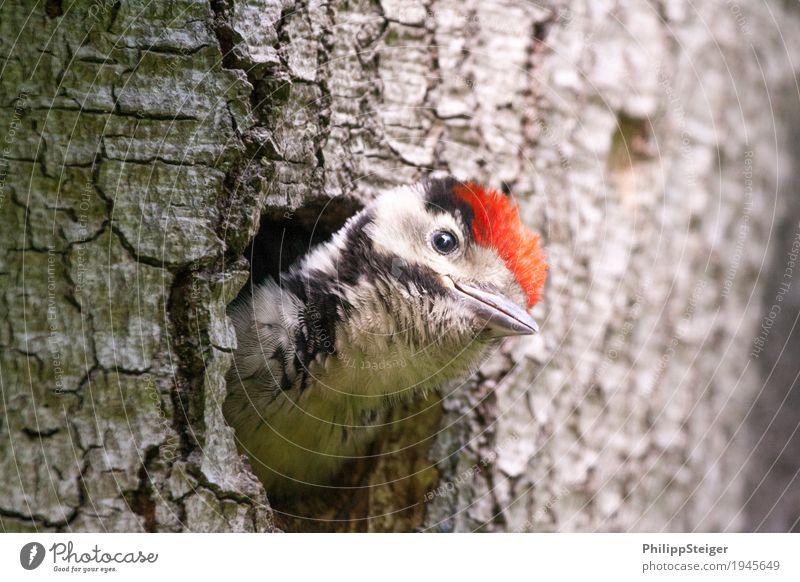 Specht schaut schief aus der Baumhöhle heraus Natur füttern natürlich Neugier niedlich wildlife Tier Schnabel Vogel mehrfarbig Buntspecht Loch Spechtlocht