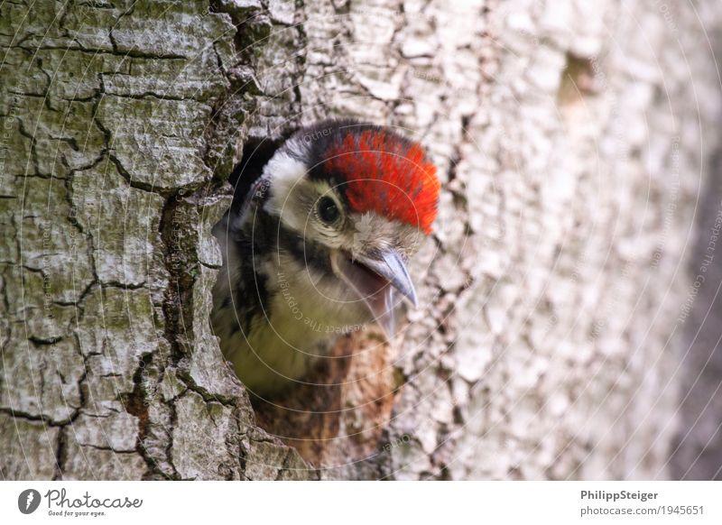 Kleiner Buntspecht guckt aus seiner Höhle Natur füttern Verantwortung Verlässlichkeit Pünktlichkeit gewissenhaft Tier Schnabel Vogel mehrfarbig Neugier Futter