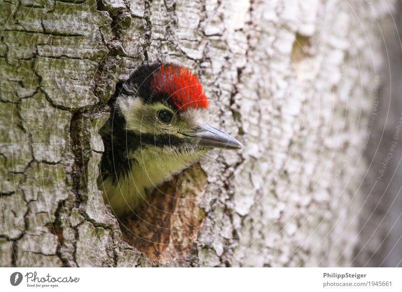 Kleiner Specht guckt aus dem Loch Natur fliegen füttern Tier Buntspecht Ausgucken Baum Spechtloch ökologische Nische Schnabel mehrfarbig Neugier entdecken