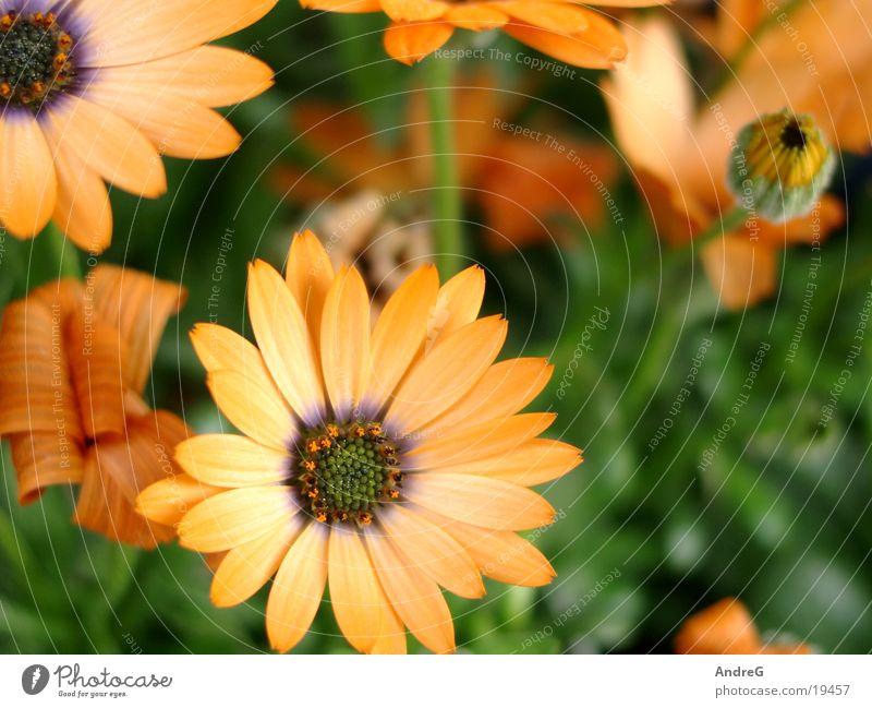 Blumen Orange Symphonie Blume orange Muttertag Symphonie