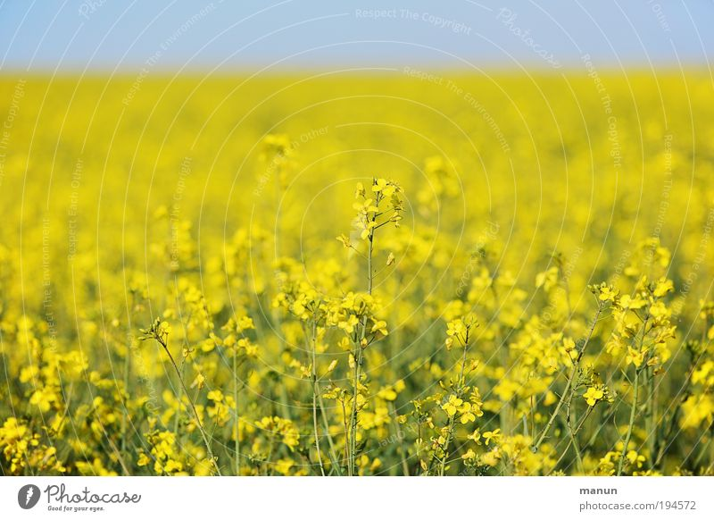 Rapsfeld Lebensmittel Öl Ernährung Energiewirtschaft Erneuerbare Energie Natur Wolkenloser Himmel Frühling Sommer Pflanze Nutzpflanze Rapsanbau Rapsblüte Feld