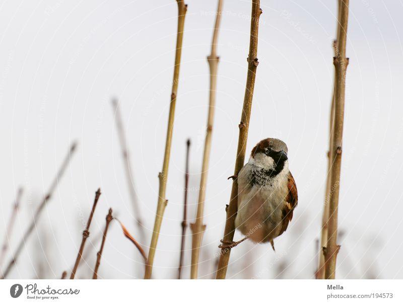Auf die Plätze, fertig .... Los! Umwelt Natur Tier Pflanze Sträucher Ast Wildtier Vogel Spatz 1 hängen frei klein natürlich niedlich Neugier Freiheit festhalten