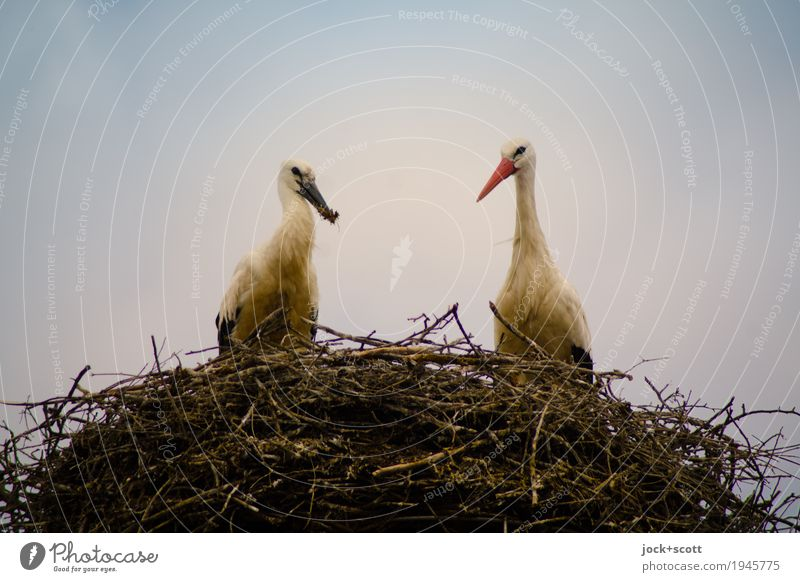 Nestwärme Himmel Wildtier Storch 2 Tierpaar beobachten füttern authentisch natürlich oben Schutz Geborgenheit Zusammensein Tierliebe Leben Partnerschaft