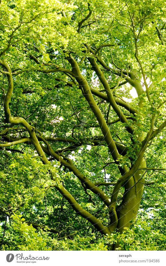 Grüne Lunge Blatt Gesundheit Macht Schutz Ast Baumkrone antik Umweltschutz Vernetzung Geäst Sauerstoff pflanzlich Labyrinth Strukturen & Formen geblümt