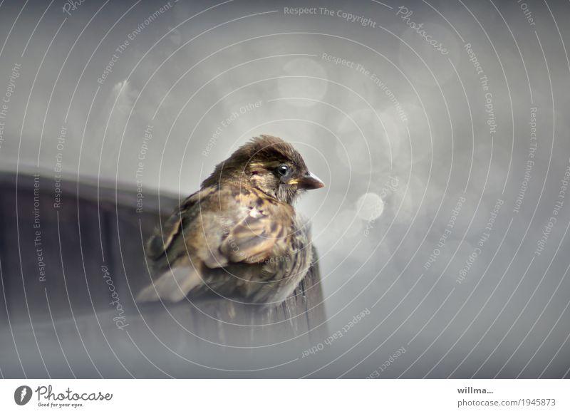 der straßencafespatz Spatz Sperlingsvögel Vogel Singvögel Kulturfolger niedlich grau gefiedert Dreckspatz Gedeckte Farben Außenaufnahme Textfreiraum rechts