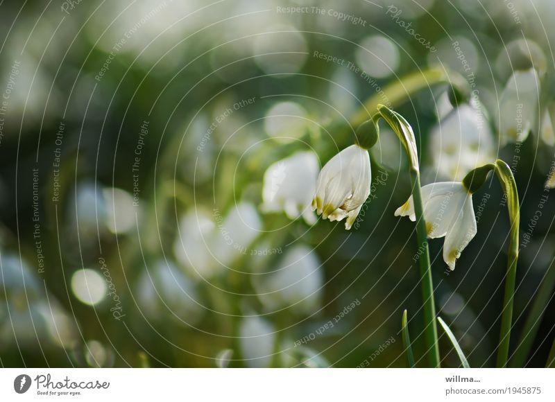 einen becher märz, bitte Frühling Märzenbecher Frühblüher Frühlingsblume Frühlingstag grün weiß Farbfoto Außenaufnahme