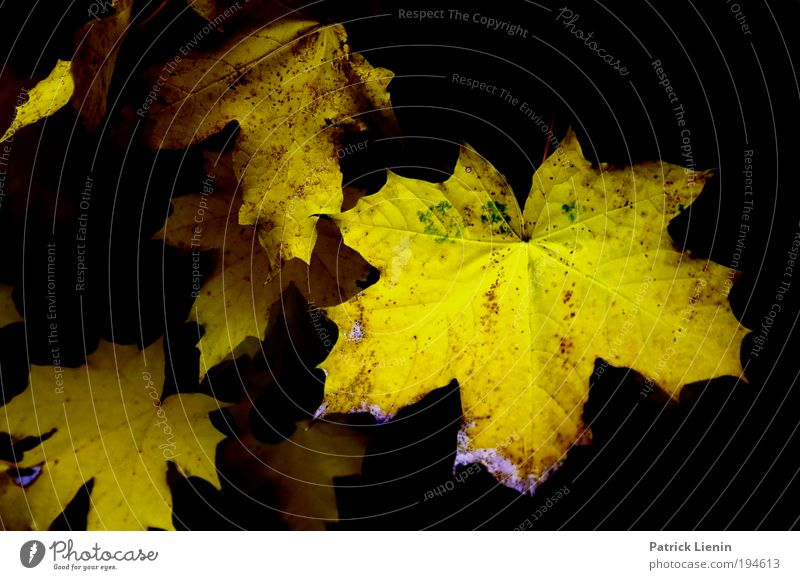 schwarz-gelb Umwelt Natur Pflanze Herbst Blatt genießen Ahorn ausgebleicht trist Kontrast tief Spitze Blätterdach Verfall mehrfarbig Menschenleer Abend Schatten