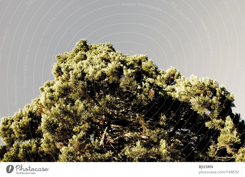 Dem Himmel zugewandt Natur blau grün Baum Pflanze schwarz Umwelt Holz grau groß hoch Wachstum Ast Wolkenloser Himmel Umweltschutz