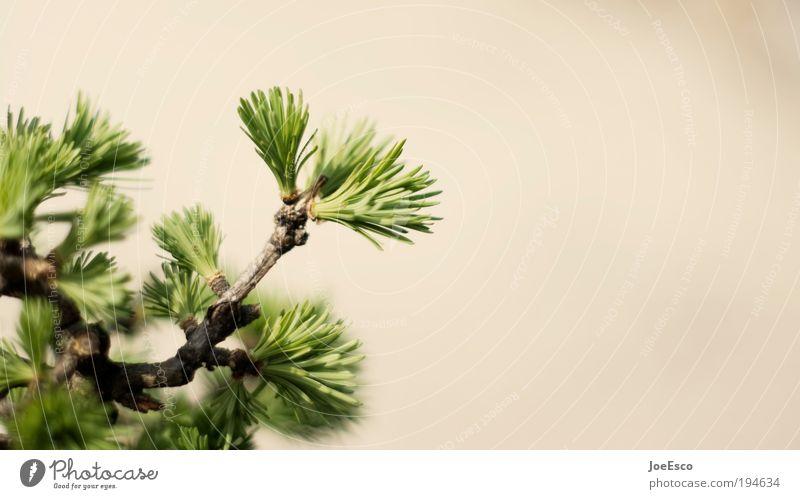 sättigungsbeilage Natur Pflanze schön Umwelt Frühling Wachstum stark Umweltschutz nachhaltig Grünpflanze Nadelbaum Wildpflanze Tannennadel Detailaufnahme