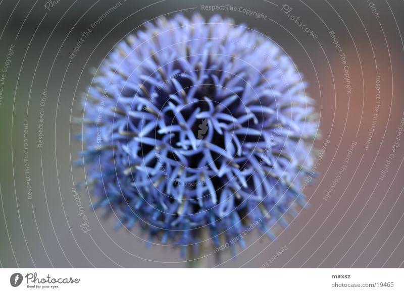 blue summer flower Blume blau Pflanze Sommer Stengel