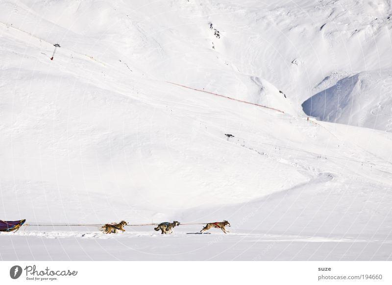 Sixpack Winterurlaub Umwelt Schnee Alpen Berge u. Gebirge Tier Haustier Nutztier Hund Tiergruppe rennen Bewegung fahren hell kalt weiß Ausdauer Schlittenhund