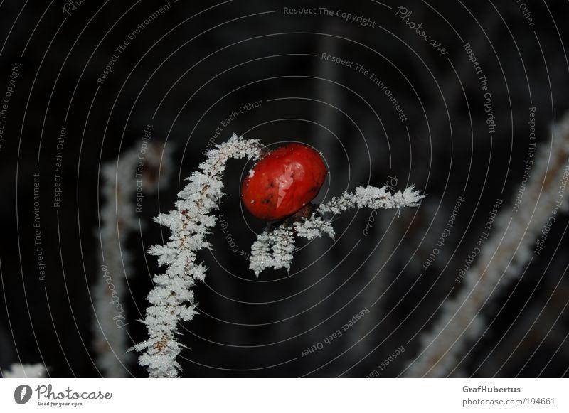 """Hagebutte am Eisstiel Winter Frost Pflanze """"Hagebutte Hetschepetsche vereist gefroren Juckpulver"""" rot weiß kalt Natur genießbar Farbfoto Außenaufnahme"""