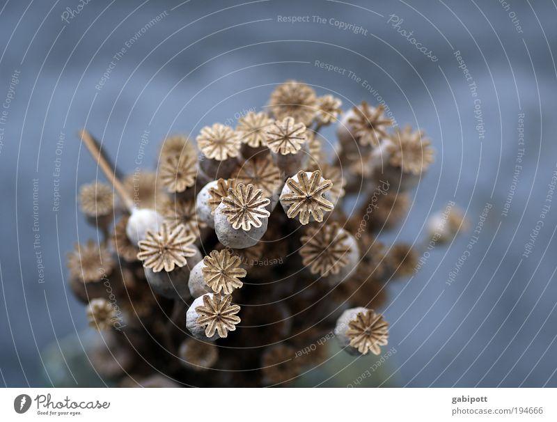 Ein Glückwunsch-Strauß Natur blau Pflanze grau braun Stern (Symbol) Sträucher Mohn Lebensfreude natürlich Blumenstrauß trocken Blume Wildpflanze Mohnkapsel