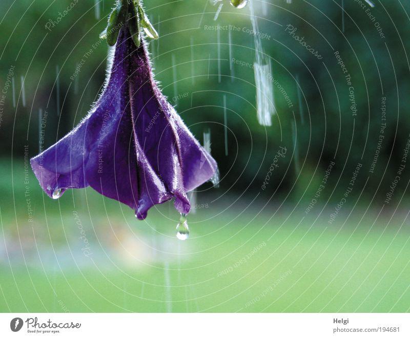 tropfnass... Umwelt Natur Pflanze Wasser Wassertropfen Sommer schlechtes Wetter Regen Blume Blüte Topfpflanze Petunie Garten Bewegung Blühend fallen hängen