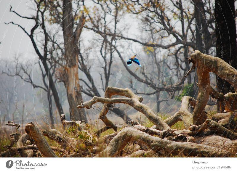 Kingfisher Ferien & Urlaub & Reisen Ferne Freiheit Safari Sommer Sonne Umwelt Natur Landschaft Tier Luft Erde Baum Wald Vogel 1 fliegen exotisch frei